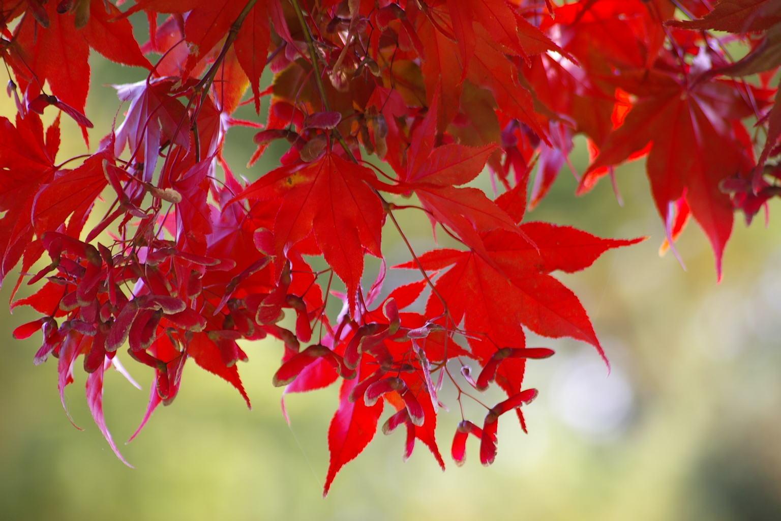 若木神社 カエデの紅葉