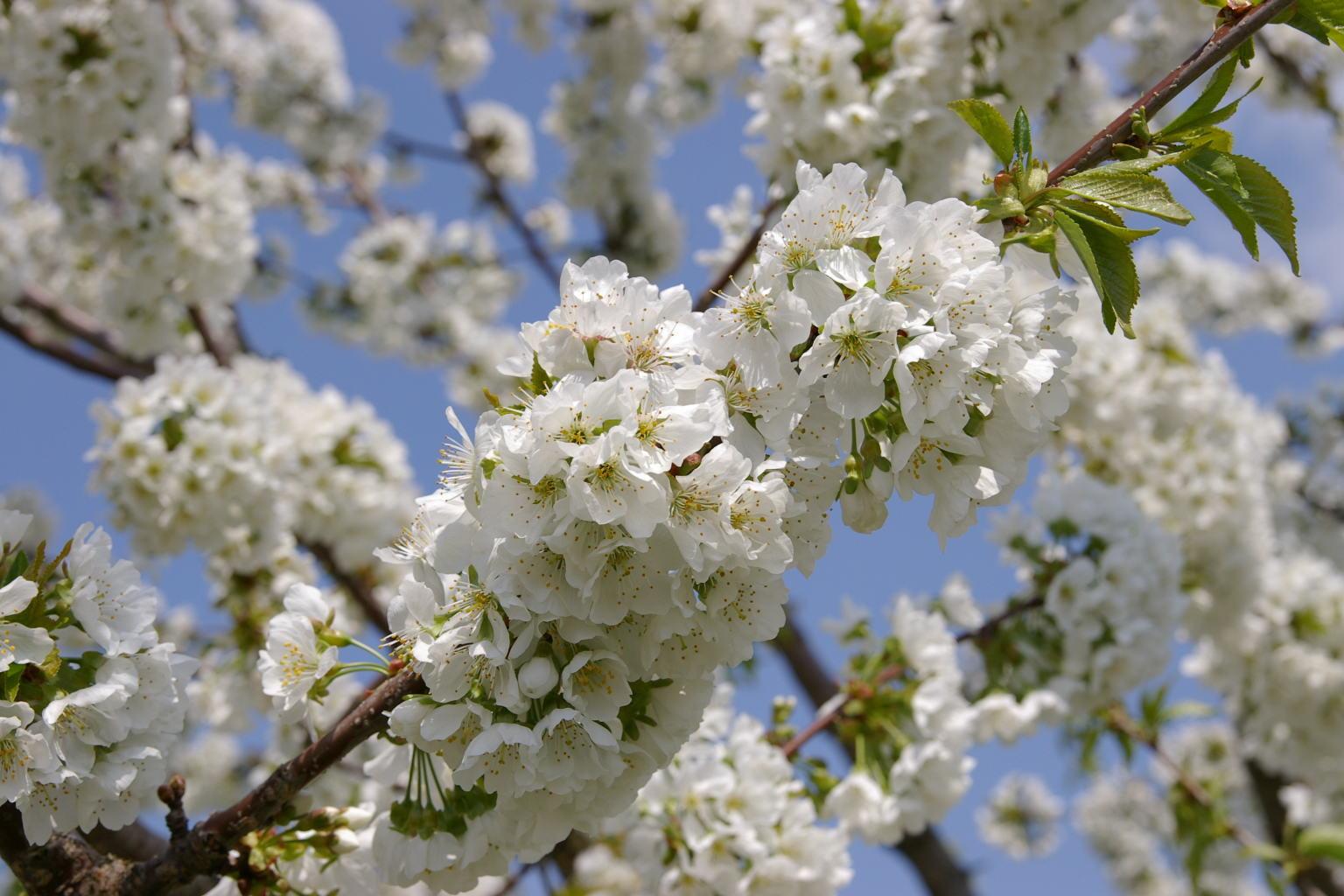神町 「さくらんぼの白い花」