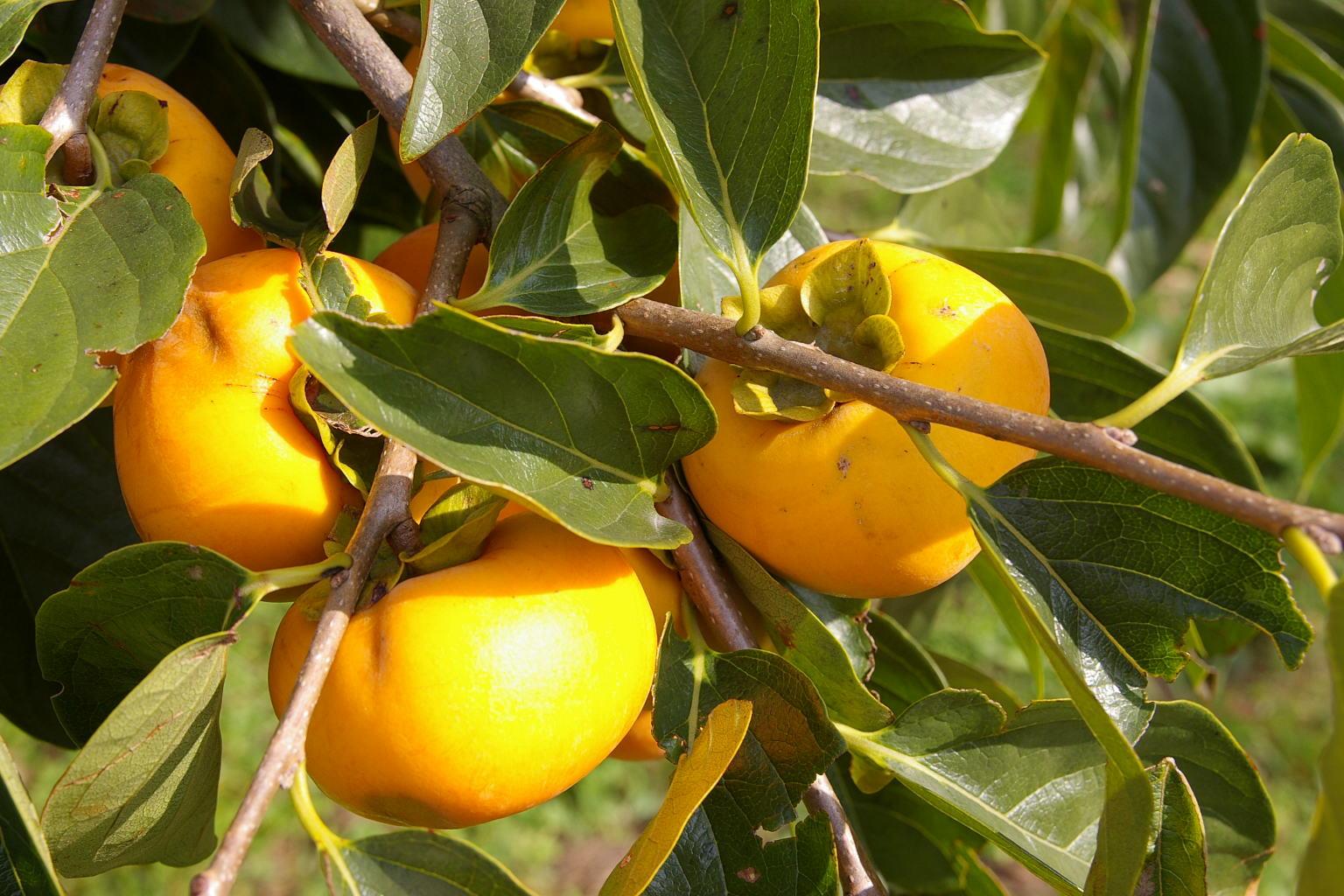 神町西 「柿の木」