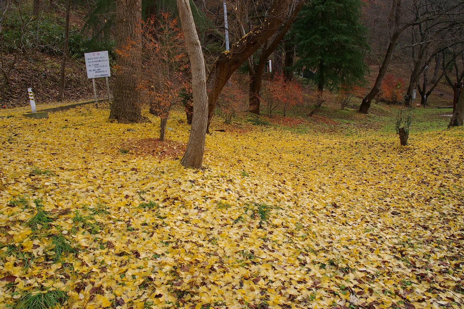 若木公園 「銀杏の落葉」