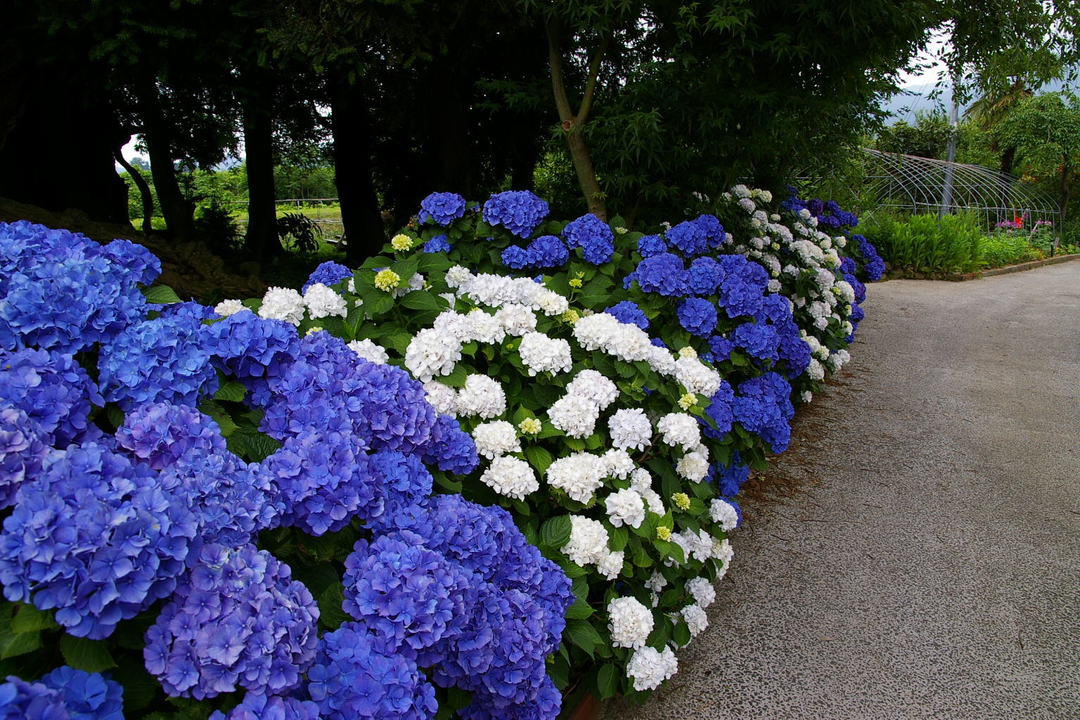 伊達市の紫陽花
