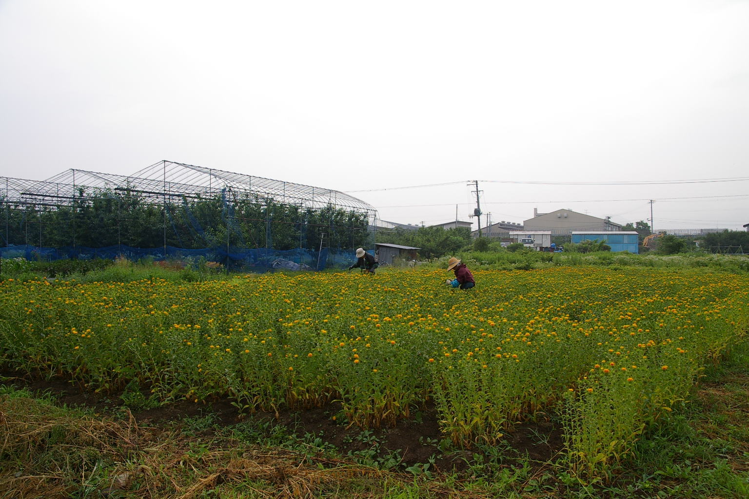 山形市漆山 紅花畑