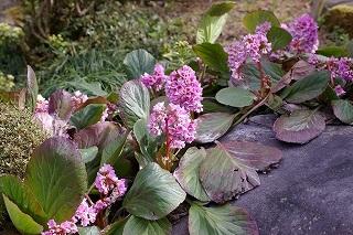 我が家の庭 ヒマラヤユキノシタ