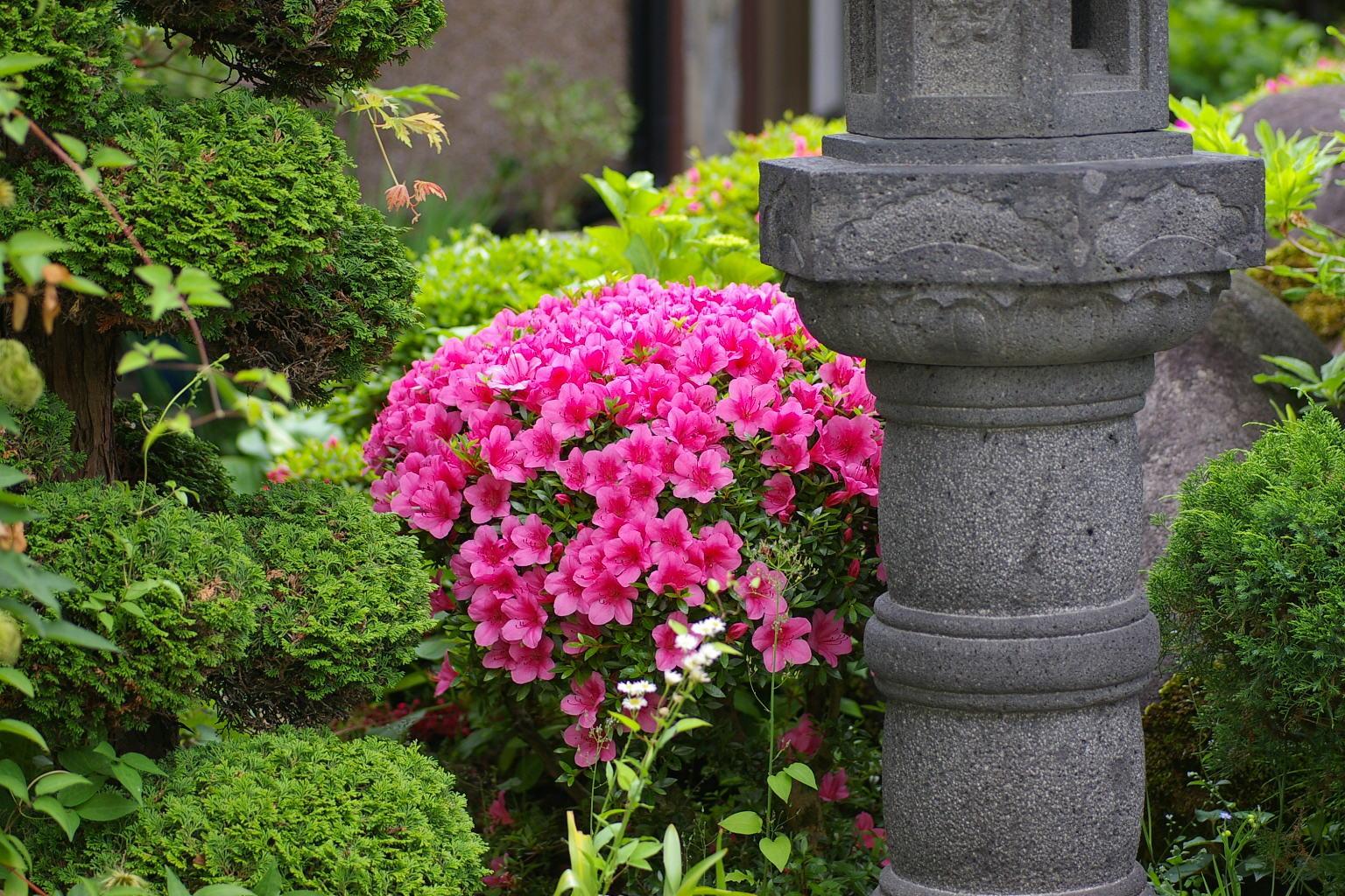 我が家の庭 皐月の花満開です