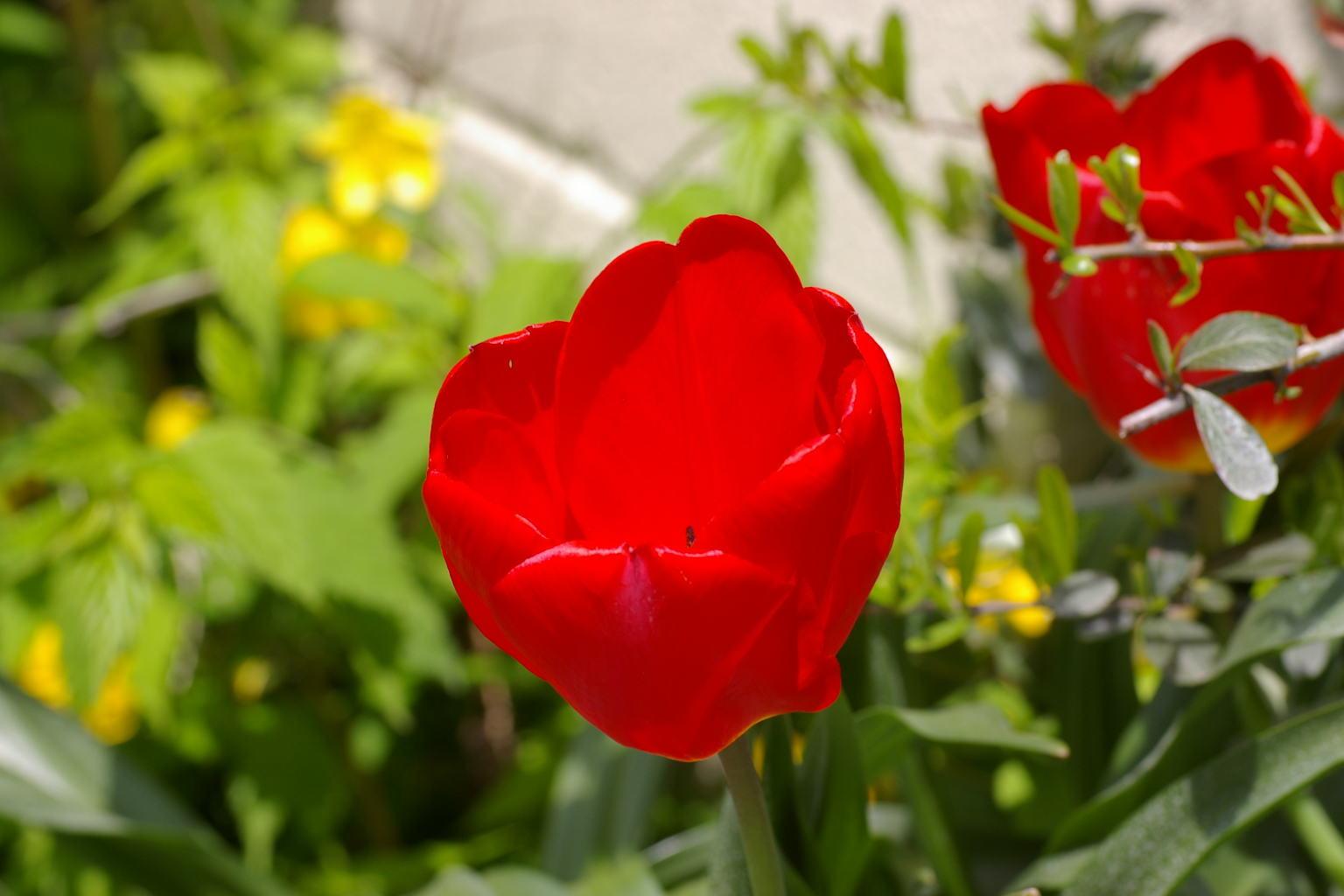 我が家の庭で 真紅のチューリップ