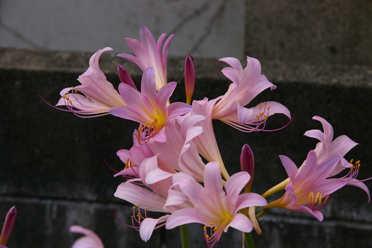 我が家の庭 夏水仙満開