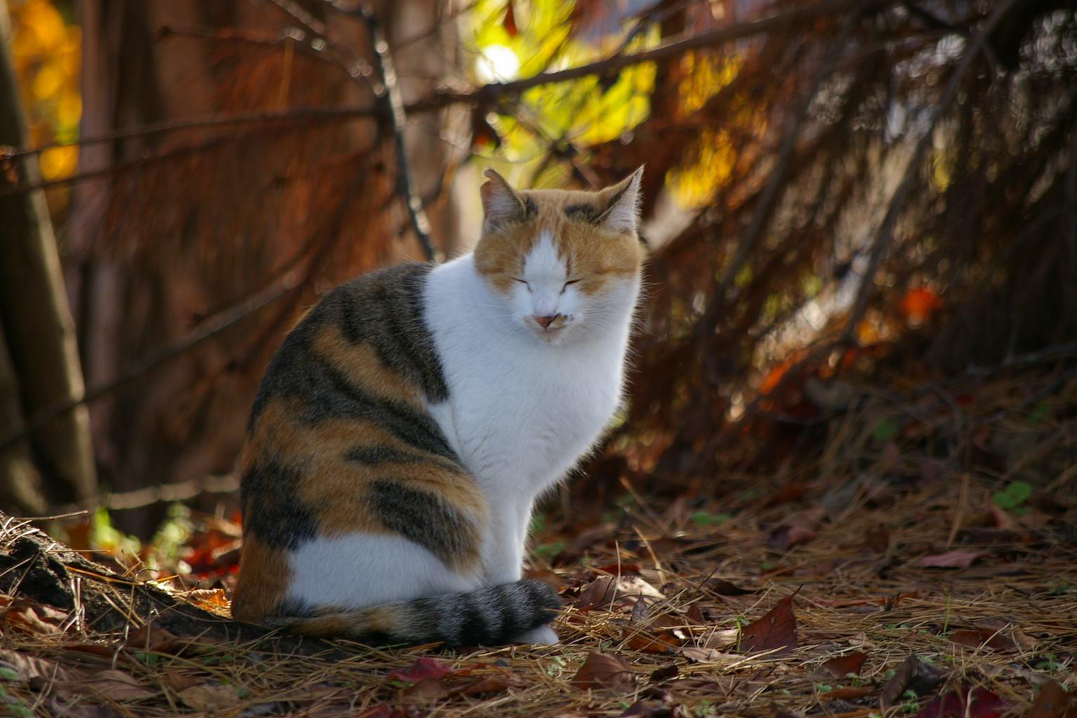 大日様の猫