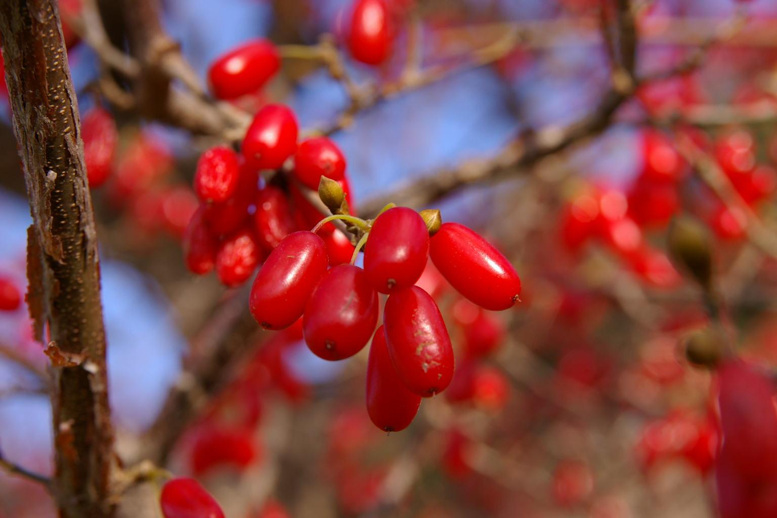 若木山公園 山茱萸の実