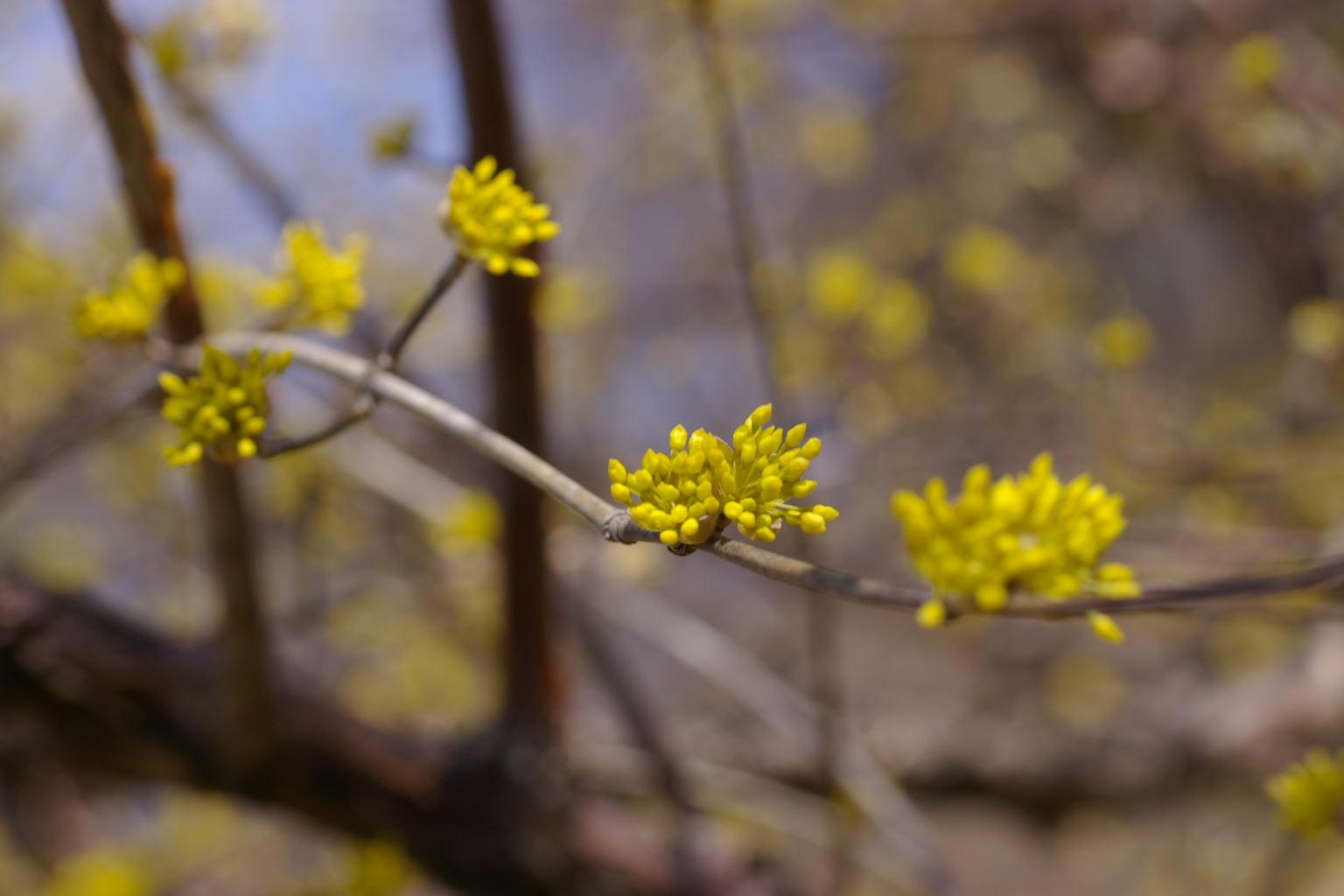 山茱萸の黄色い花