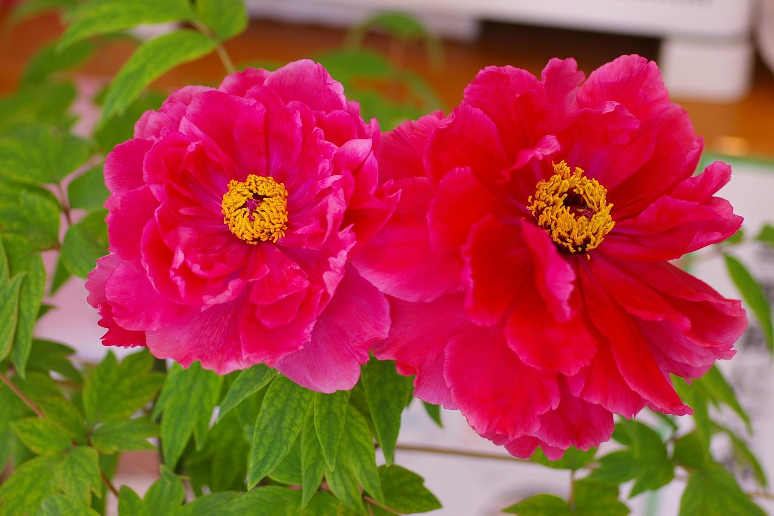 今年も真紅の牡丹が咲きました