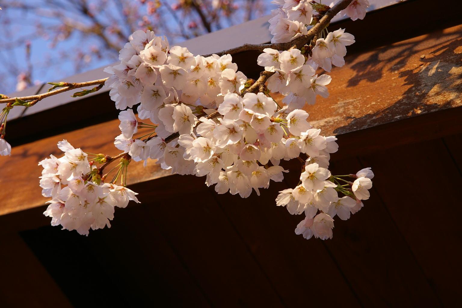 I若木山公園の桜 開花しました!