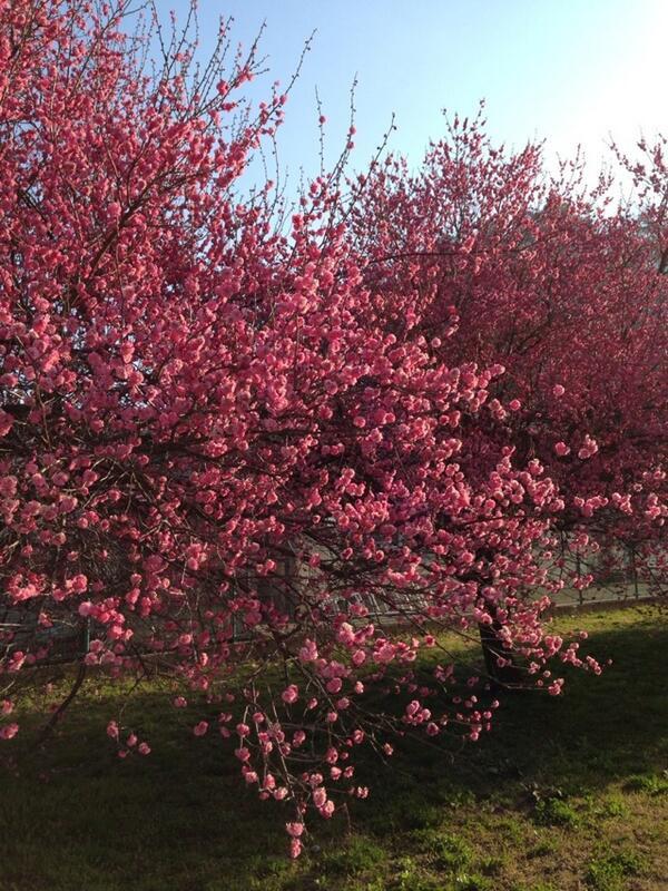 梅の花です。朝日を浴びて気持ち良さげ