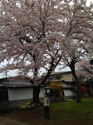 若木神社に立ち寄ってみると満開の桜