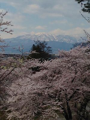 若木山より 桜と葉山