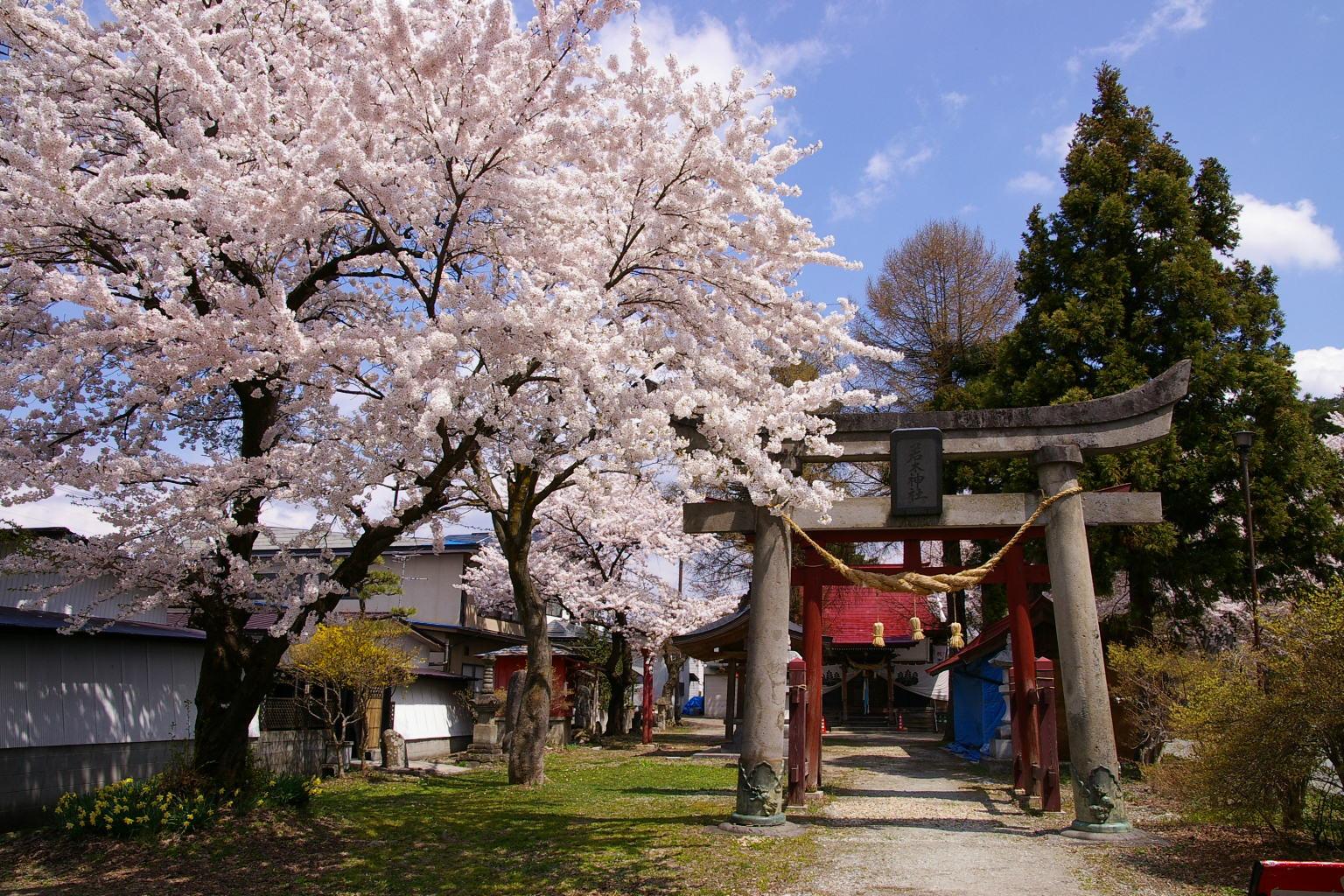 東根市若木神社 満開の桜
