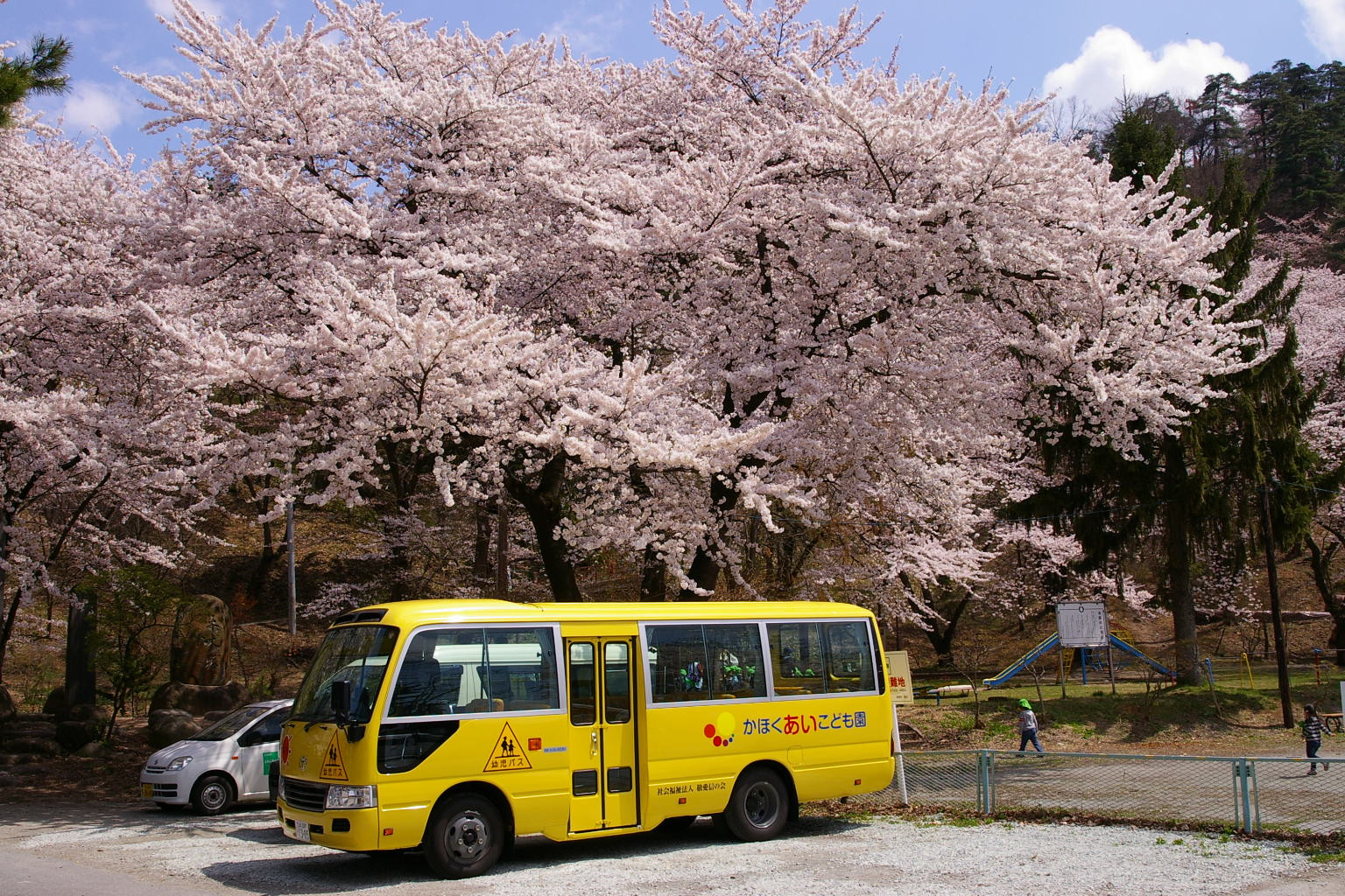 若木山講演、桜満開!
