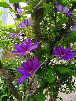 我が家ではリラの木にクレマチスがするすると昇って咲いています。<br />