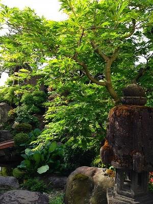 我が家の庭、楓です。