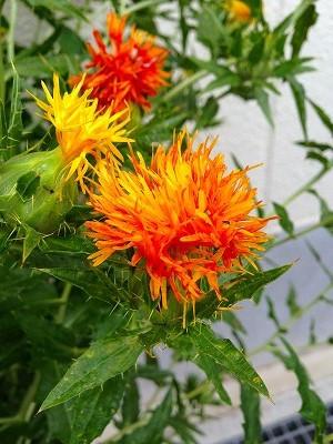 長年、冠元顆粒という血液をサラサラにして血行を改善する漢方薬を愛用されているお客さまより紅花を先週の金曜日に頂戴しました。</p> <p>