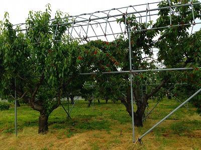 これが雨除けのテントが張ってあるサクランボの木です。