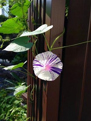 我が家の庭 門番の朝顔