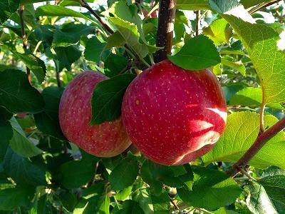 東根市神町はリンゴの季節です。