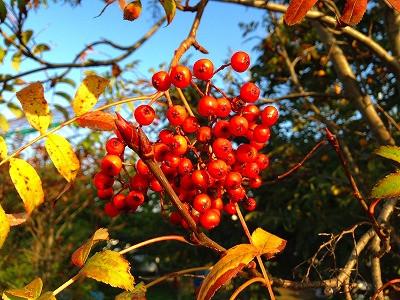 ナナカマドの赤い実