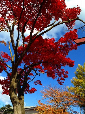 ケヤキの紅葉