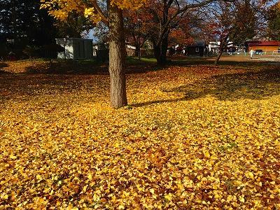 若木山公園の銀杏の紅葉