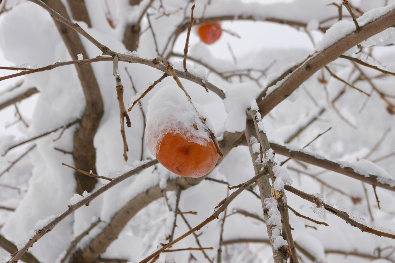 赤い柿の実が雪に映えます