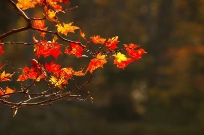 紅葉のアップの写真です