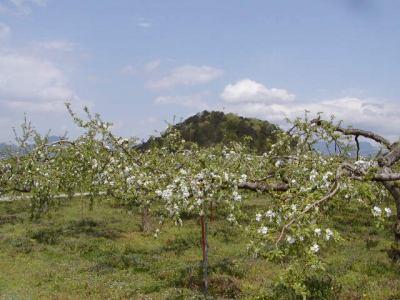 若木山とりんごの木
