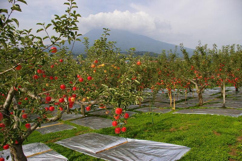 津軽 愛宕付近からの眺め 「りんごに岩木山」