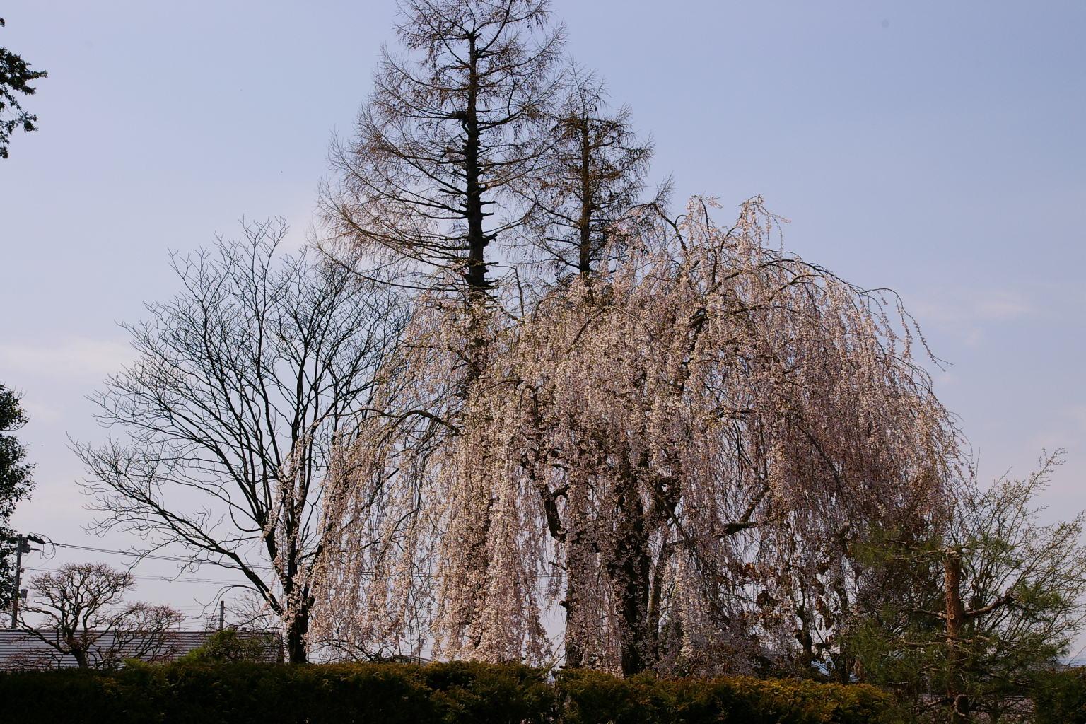</p> <p>隣の警察署を挟んだところには、見事なしだれ桜もあります。