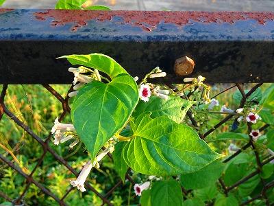 屁糞葛の花です