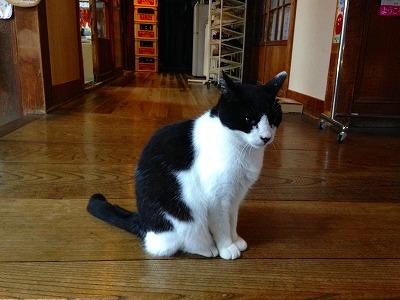 藤島旅館の猫