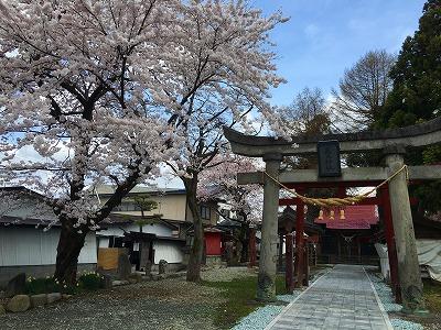 若木神社の桜