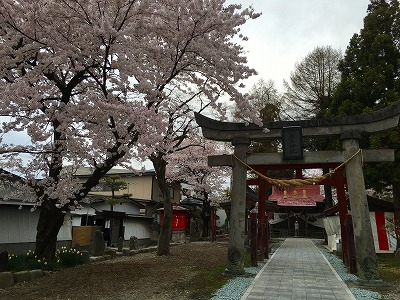 若木神社の桜満開