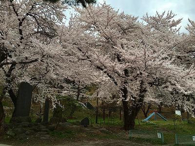 若木山は桜色