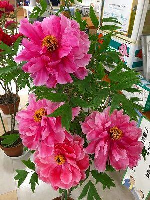牡丹の花咲く薬局