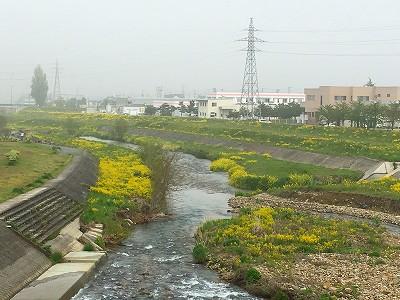 菜の花咲く野川