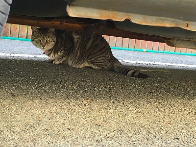 狸森カフェの猫