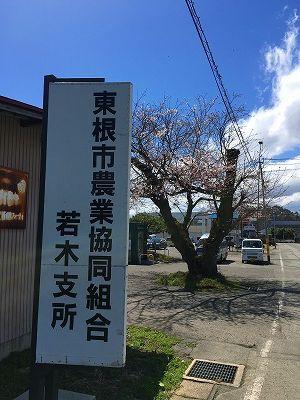 東根市農業組合若木支所の桜