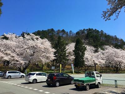 若木山と桜