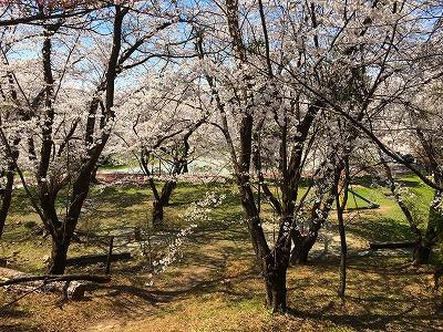 若木公園の桜