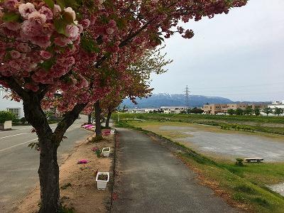 八重桜と野川、月山