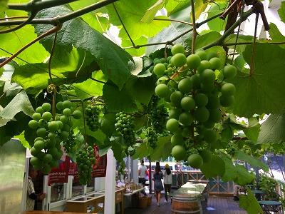 レストラン、アタマの上にはブドウが