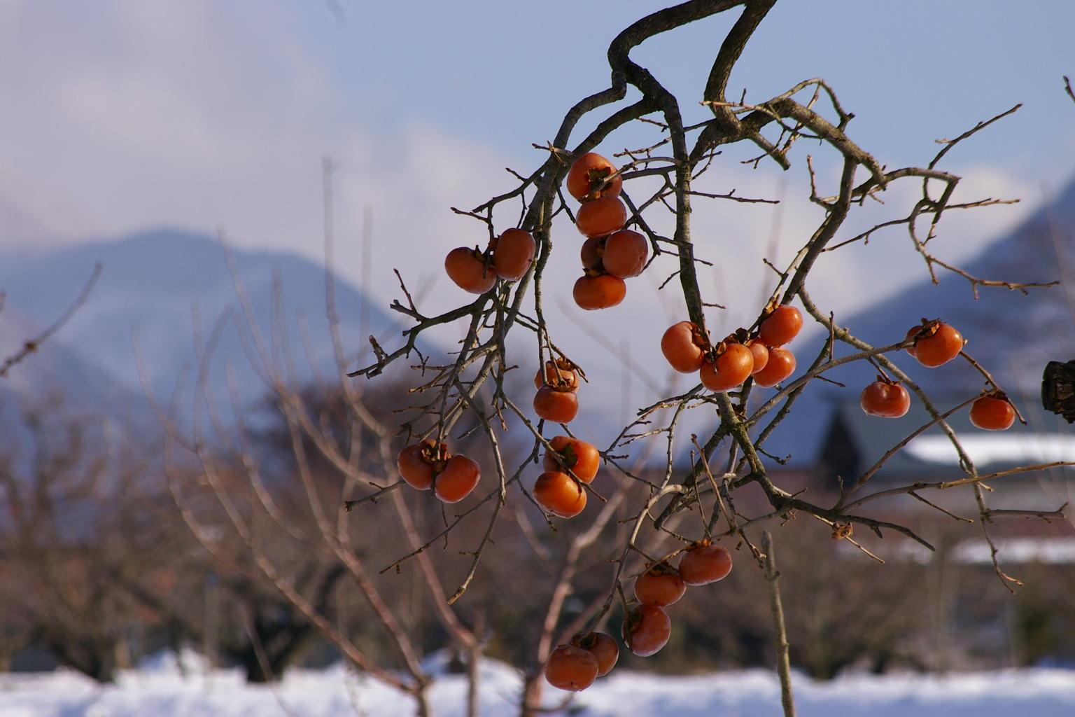 柿の木のズーム、雪原