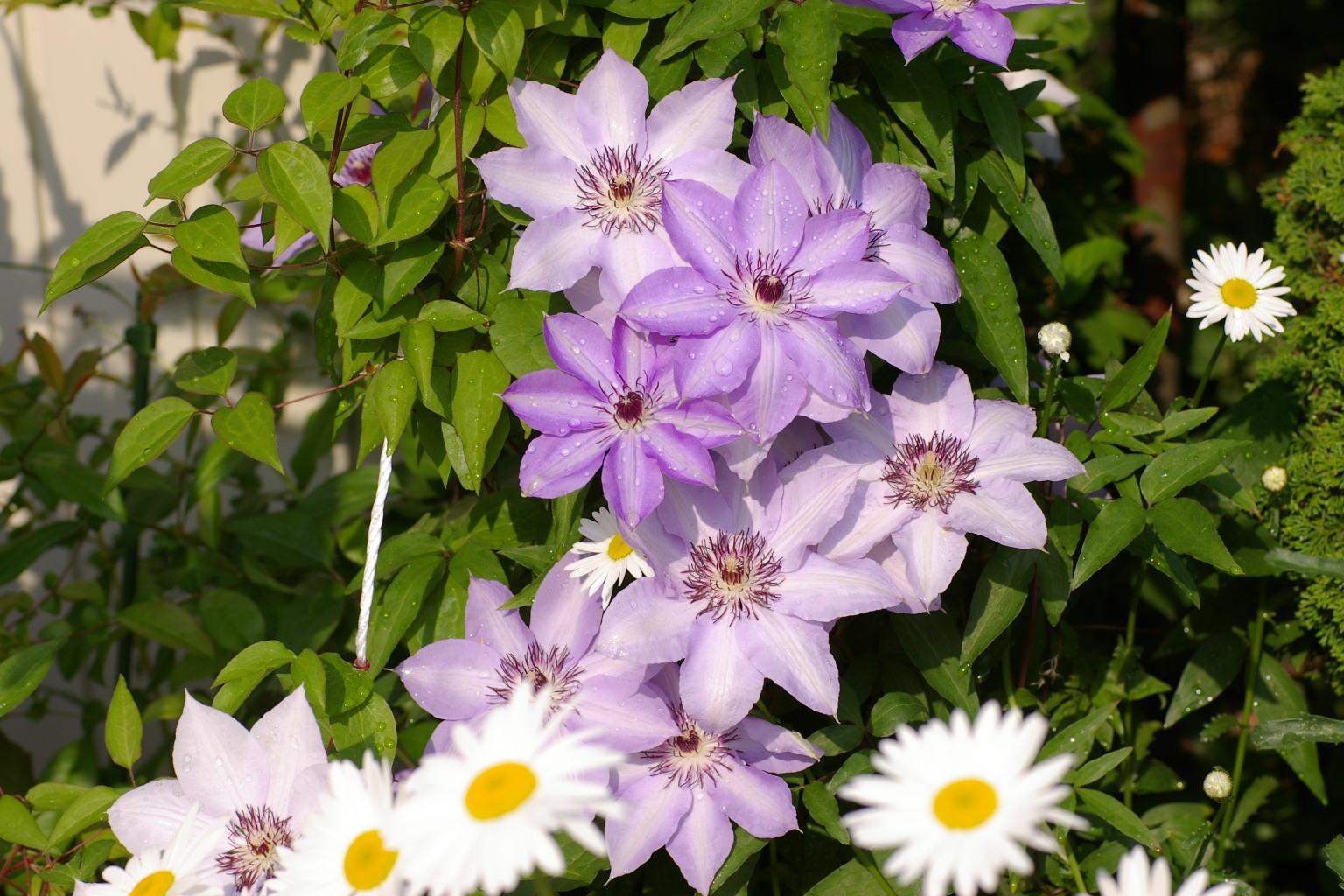 我が家の庭では、クレマチス(鉄線)が花盛り