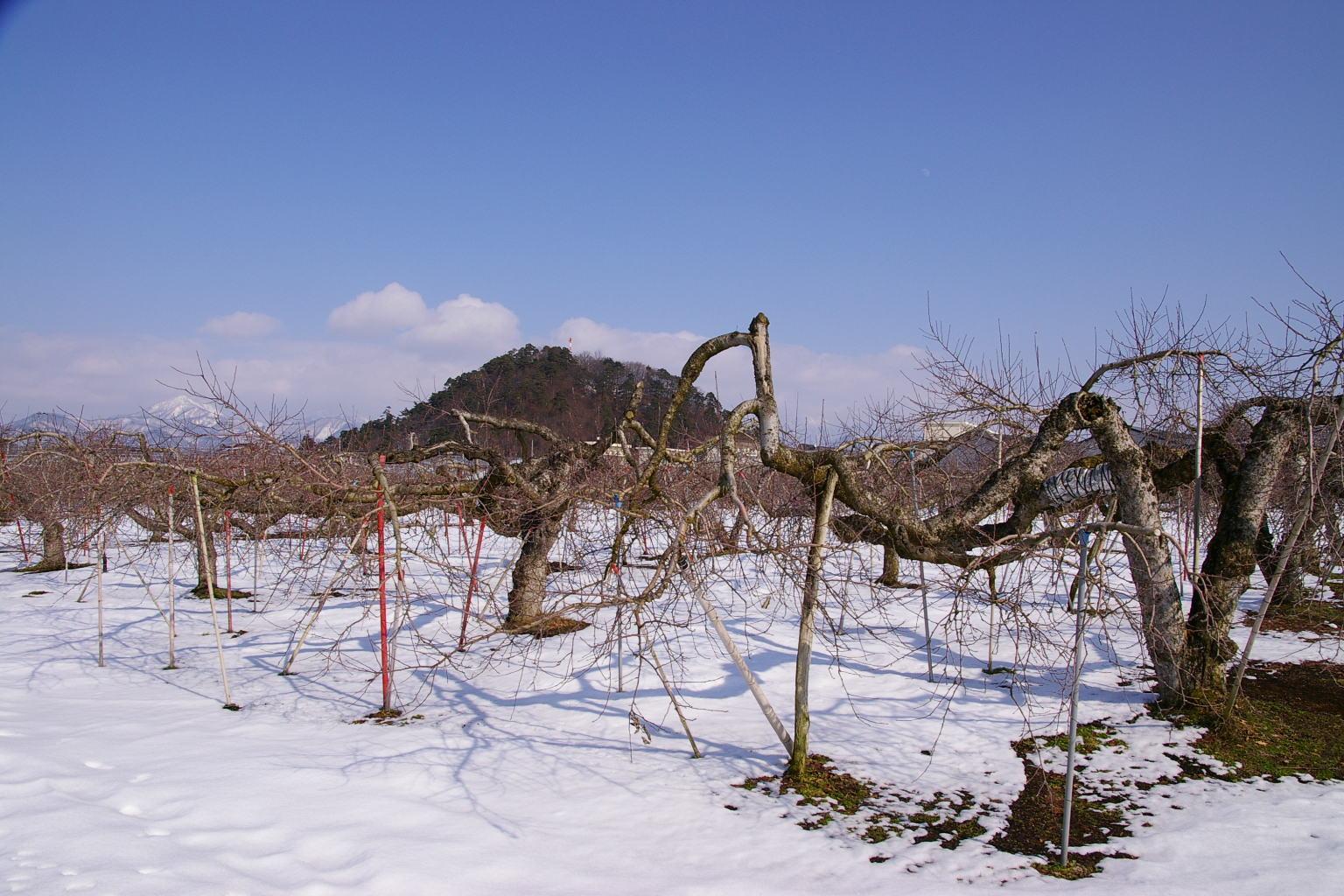 神町のりんご畑
